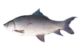 Rohu fisk - fryst